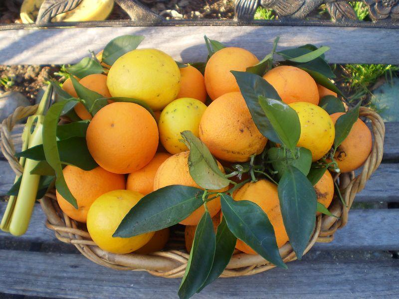 Blue Belly and lemons 030 (37)