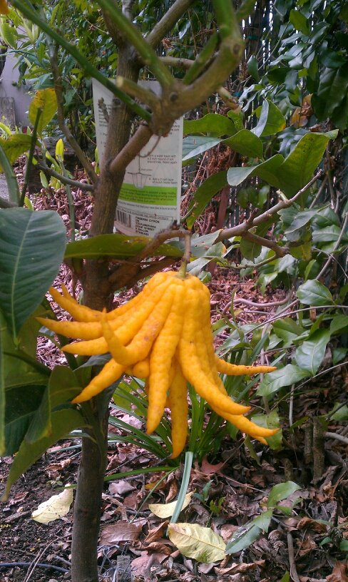 Buddha's Hand Citron Tree in my garden