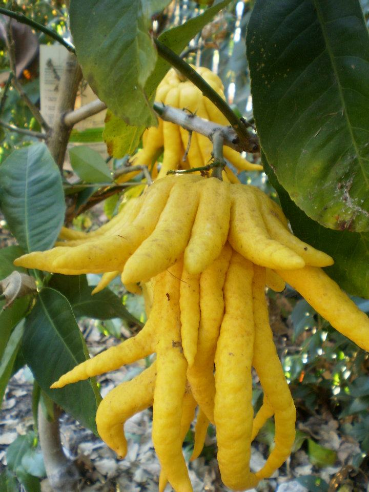 Buddha's hand- Weird looking but very fragrant and delicious
